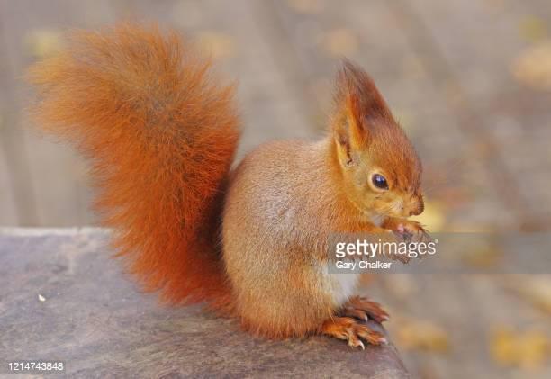 red squirrel [sciurus vulgaris] - eurasian red squirrel stock pictures, royalty-free photos & images