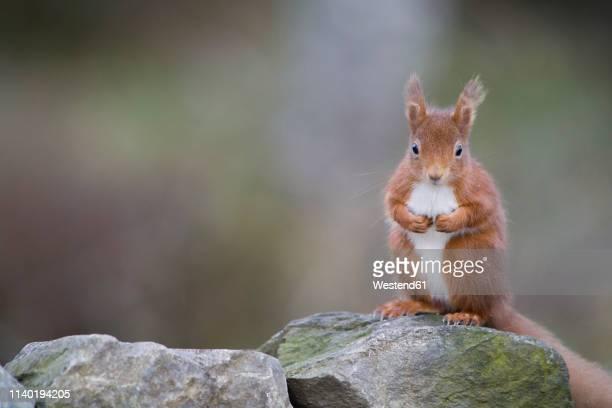 red squirrel, sciurus vulgaris, sitting on stone - scoiattolo foto e immagini stock