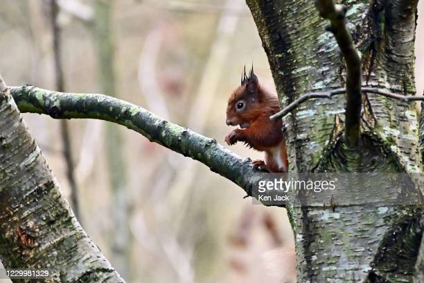 Red squirrel sits in a birch tree at the RSPB's Loch Leven nature reserve, on December 6, 2020 in Kinross, Scotland.