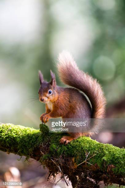 red squirrel sitting on a moss covered branch holding a hazelnut in scottish woodland - galloway scotland stock pictures, royalty-free photos & images