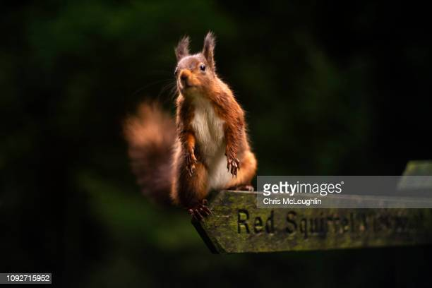 red squirrel sitting on a red squirrel sign at snaizeholme in north yorkshire - reserva natural parque nacional fotografías e imágenes de stock