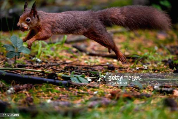 A red squirrel stocks up on nuts in Queen Elizabeth Forest on November 8 2017 in Aberfoyle Scotland Temperatures across the UK have started to fall...