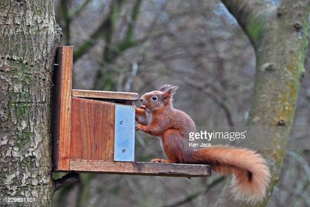 Red squirrel takes a nut from a feeder at the RSPB's Loch Leven nature reserve, on December 1, 2020 in Kinross, Scotland.