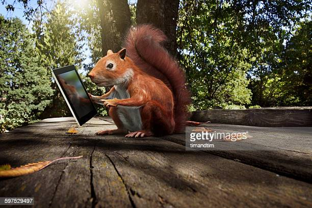 red squirrel using a tablet in a park - american red squirrel stock photos and pictures