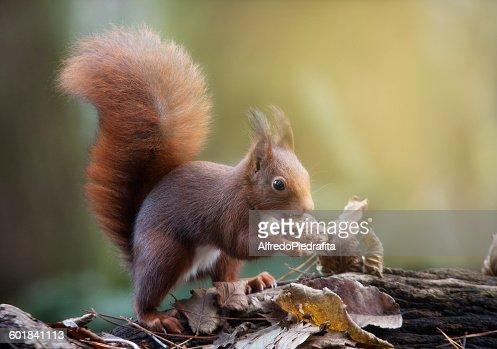 Red squirrel, with a nut,  Artica, Navarra, Spain