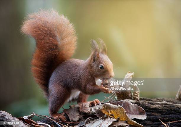Red squirrel, with a nut,  Artica, Navarra, Spain