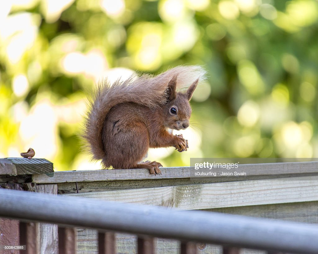 Red Squirrel with Hazelnuts : Stock Photo