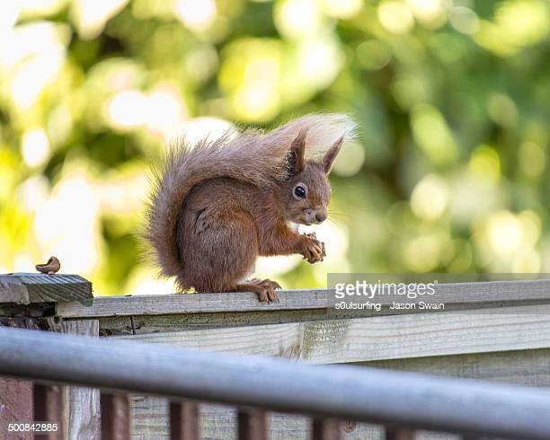 red squirrel with hazelnuts - totland bay stock pictures, royalty-free photos & images