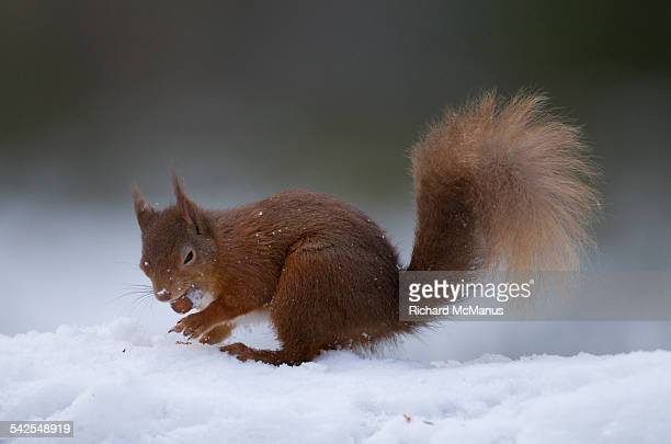 red squirrel in snow red squirrel uk in snow stock photos and pictures getty images