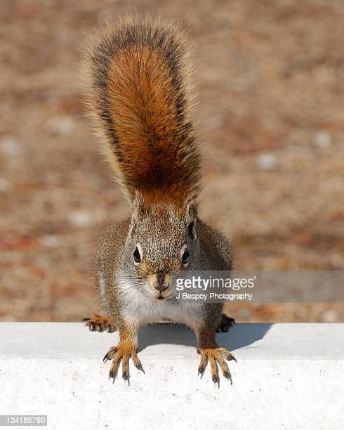 red squirrel with perky bushy tail - american red squirrel stock photos and pictures