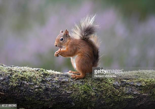 Red squirrel with tongue out eating nut.