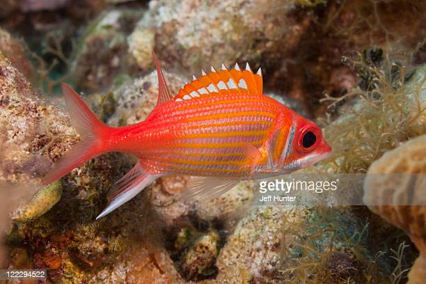red squirrelfish swimming over tropical coral reef - squirrel fish stock photos and pictures