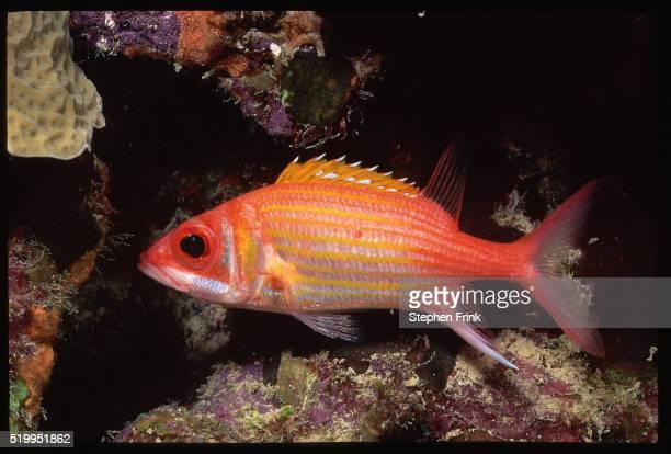 red squirrelfish swimming - squirrel fish photos et images de collection