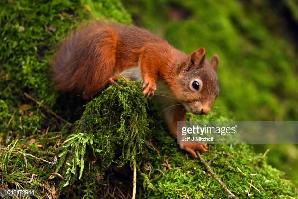 Red squirrels feed in the Trosssachs on September 28, 2018 in Aberfoyle ,Scotland. Autumn sunshine is forecast for large parts of the UK for the...