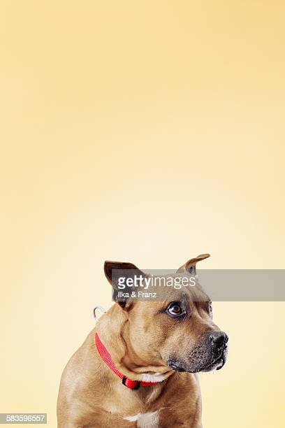 red staffordshire dog - bull terrier stock photos and pictures