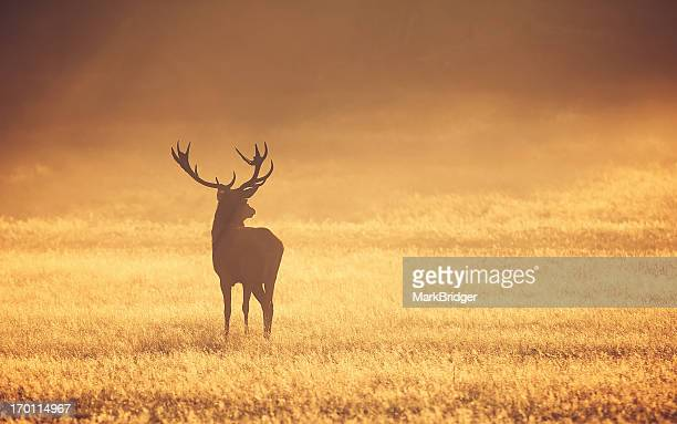 Red Stag in mist