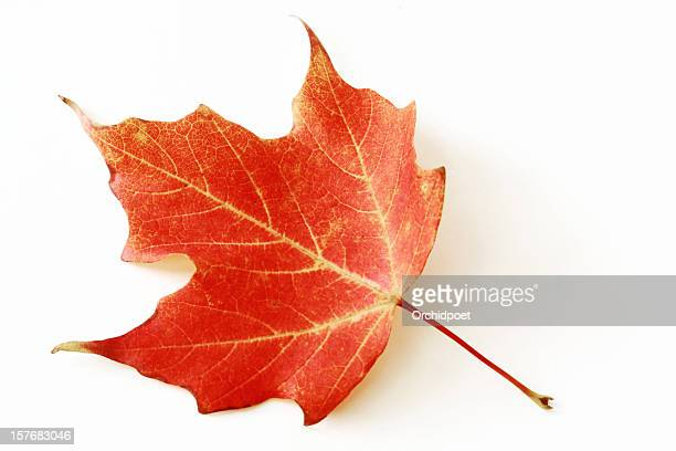 red sugar maple leaf - autumn leaf color stock pictures, royalty-free photos & images