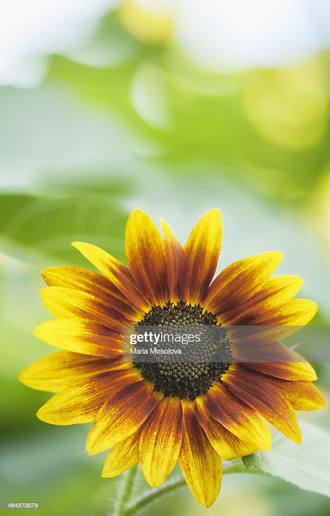 Red sunflower with yellow tips stock photo getty images red sunflower with yellow tips stock photo mightylinksfo
