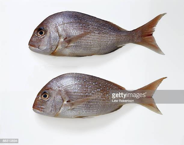Red tai snappers