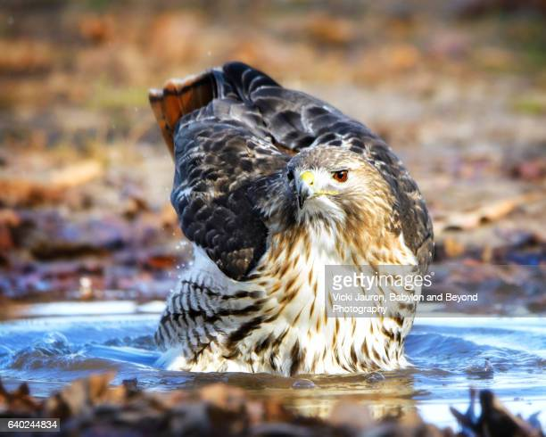 red tail hawk (buteo jamaicensis) lifts wings in water at caumsett state park, huntington, long island - huntington suffolk county new york state stock pictures, royalty-free photos & images