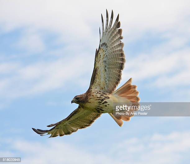 red tail hawk soaring the skies - red tailed hawk stock photos and pictures