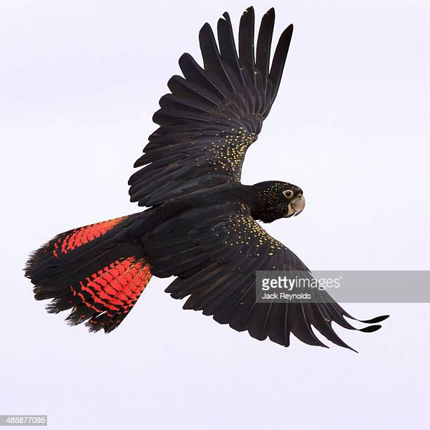 Red Tailed Black Cockatoo in flight