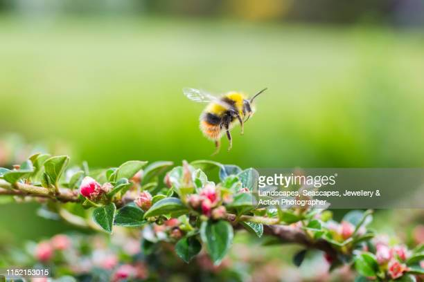 red tailed bumblebee in the cotoneaster - bumblebee stock pictures, royalty-free photos & images