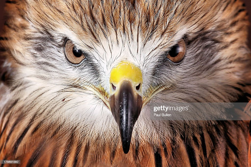 Red Tailed Buzzard : Stock Photo