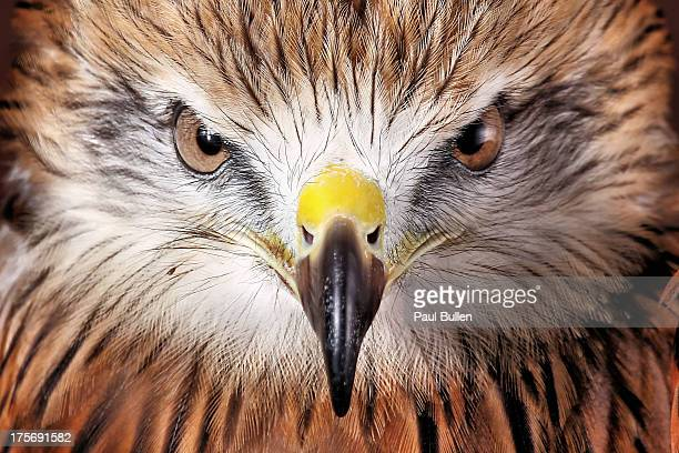 red tailed buzzard - hawk bird stock photos and pictures
