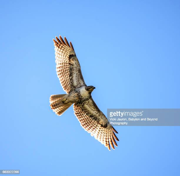 red tailed hawk against blue sky in central california - hawk stock photos and pictures