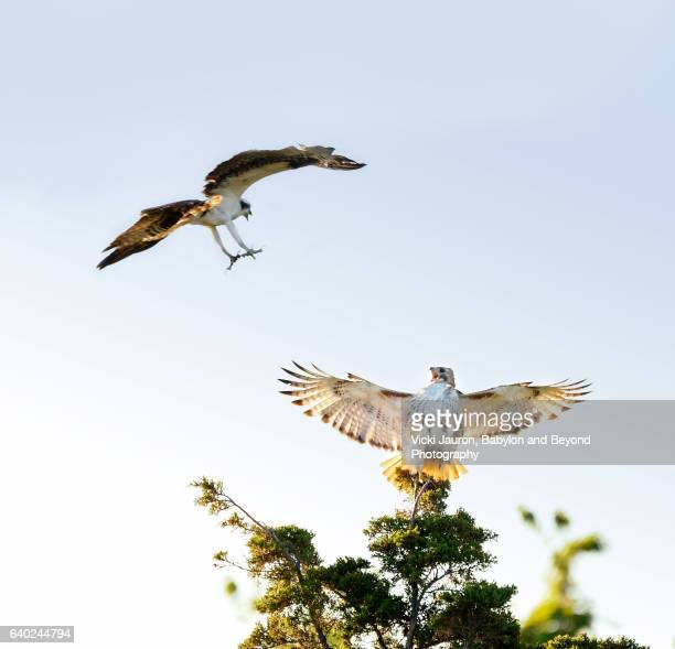red tailed hawk (buteo jamaicensis) being harassed by an osprey - red tailed hawk stock photos and pictures