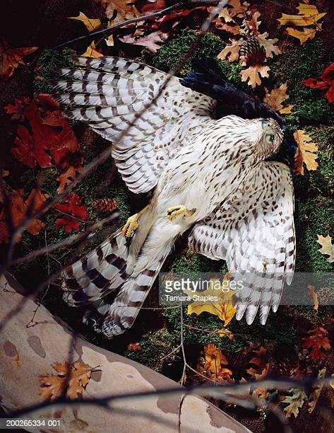 red tailed hawk (buteo jamaicensis), elevated view - red tailed hawk stock photos and pictures