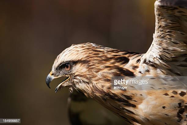 red tailed hawk eyes on its prey. - red tailed hawk stock photos and pictures