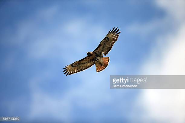 Red Tailed Hawk flies over the first fairway during the final round of the Arnold Palmer Invitational Presented by MasterCard at Bay Hill Club and...