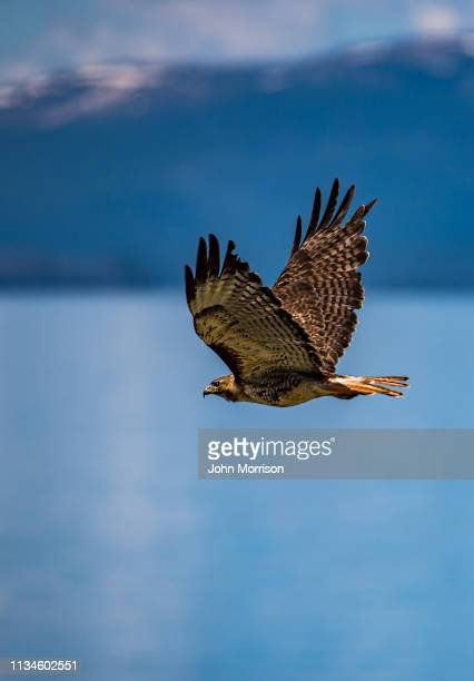 red tailed hawk flies over yellowstone lake - red tailed hawk stock photos and pictures