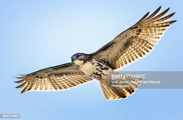 red tailed hawk in flight against blue sky - hawk stock photos and pictures