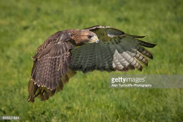 red tailed hawk in flight - red tailed hawk stock photos and pictures