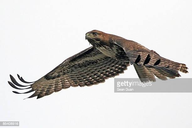 red tailed hawk in flight - hawk bird stock photos and pictures