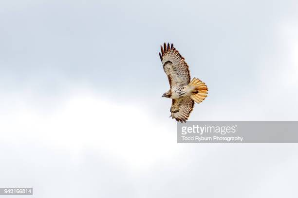 red tailed hawk in flight - hawk stock-fotos und bilder