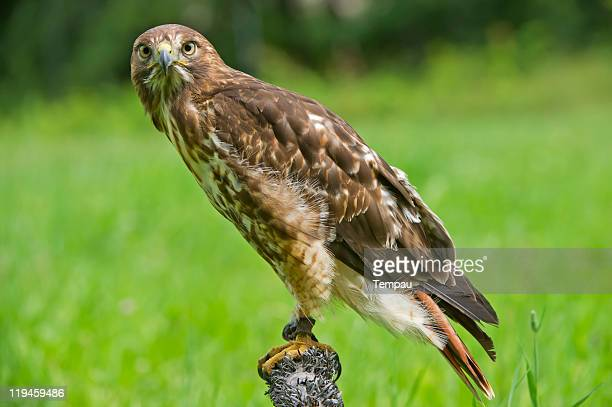 red tailed hawk on post - red tailed hawk stock photos and pictures