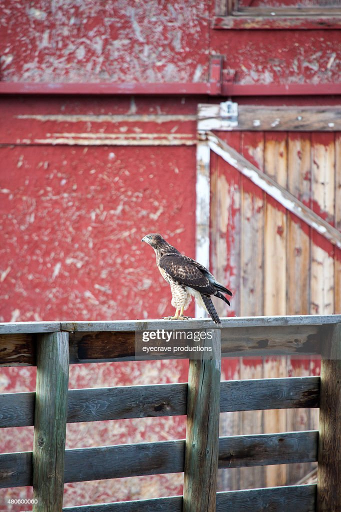 Red Tailed Hawk on Ranch Fence Rail in Western Colorado : Stock Photo