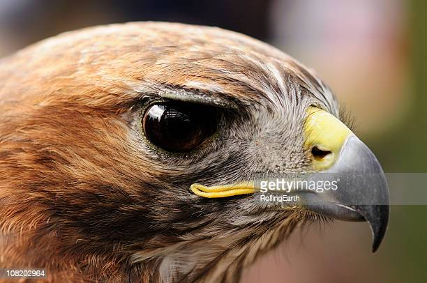 red tailed hawk - red tailed hawk stock photos and pictures