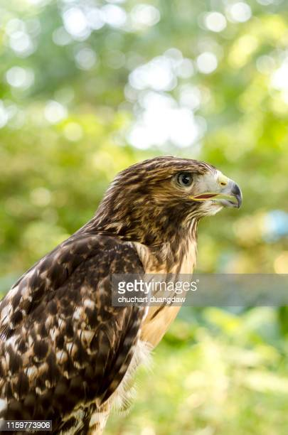 red tailed hawk - chicken hawk stock pictures, royalty-free photos & images