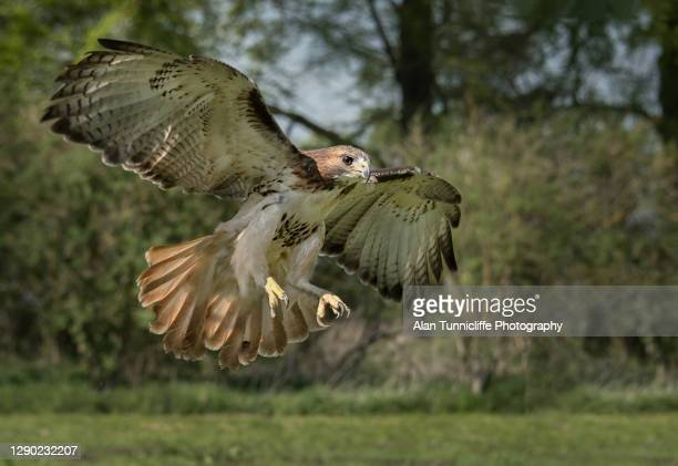 red tailed hawk - animal limb stock pictures, royalty-free photos & images