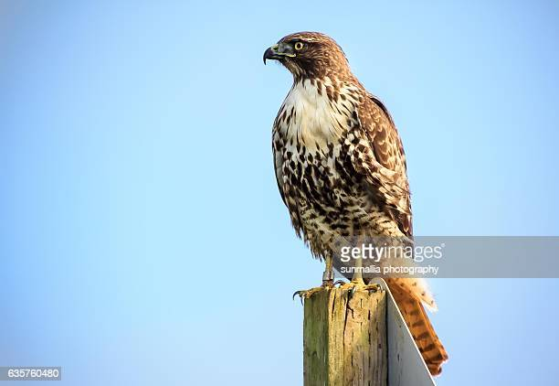 60 top red tailed hawk pictures photos images getty - Red tailed hawk wallpaper ...