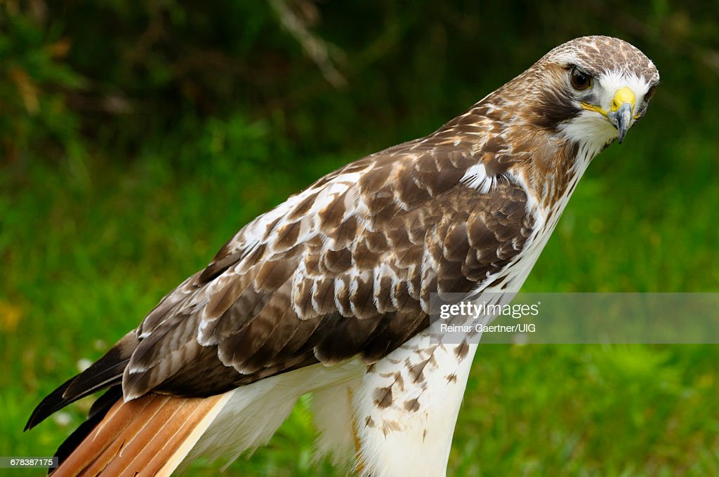 Red Tailed Hawk : Stock Photo