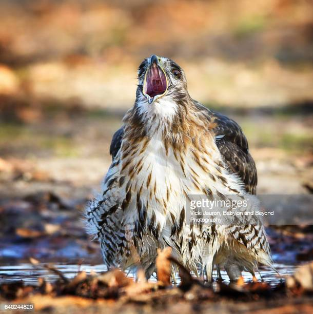 red tailed hawk (buteo jamaicensis) screaming for the camera at caumsett state park - huntington suffolk county new york state stock pictures, royalty-free photos & images