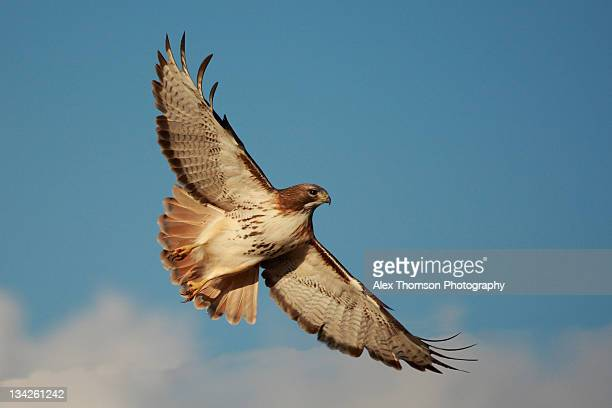 red tailed hawk soaring - red tailed hawk stock photos and pictures