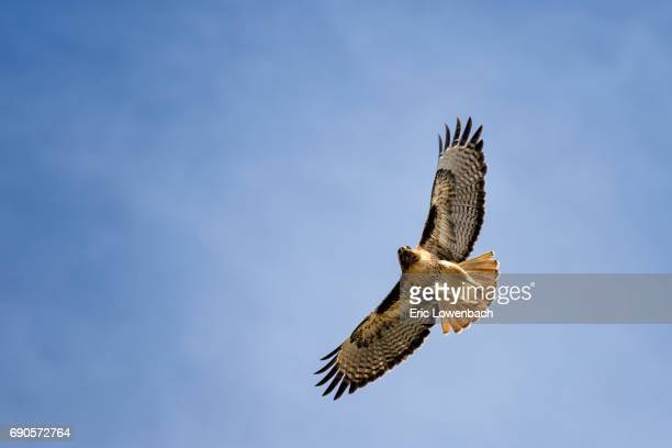 red tailed hawk soaring - hawk bird stock photos and pictures