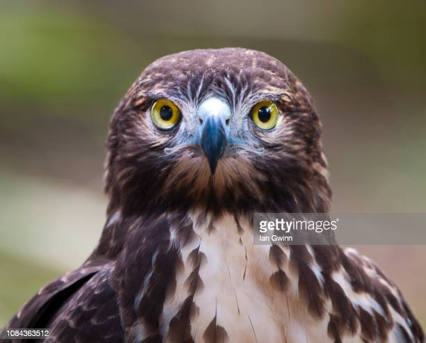 red tailed hawk_1 - ian gwinn stock photos and pictures